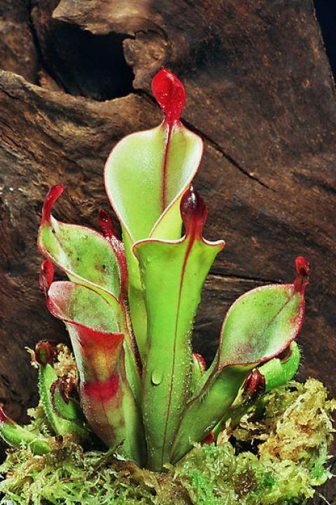 Los tepuyes son asiento de diversas plantas carnívoras. En la imagen, Heliamphora chimantensis, planta carnívora descubierta en el año 2001, en el tepuy de Chimantá, Venezuela.