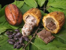 caco,Venezuela,Barlovento,chocolate,semillas de cacao