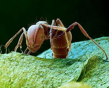 Solenopsis, La Hormiga Roja de Fuego, Foto de la Hormiga Roja, Picada de la Hormiga