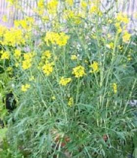 Planta de sal mostaza