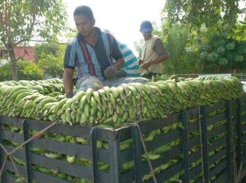 Convenio entre Rusia y Venezuela aumentará la producción de plátano